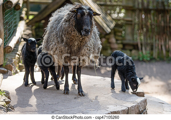 Sheep with black babies farmhouse in the yard. - csp47105260