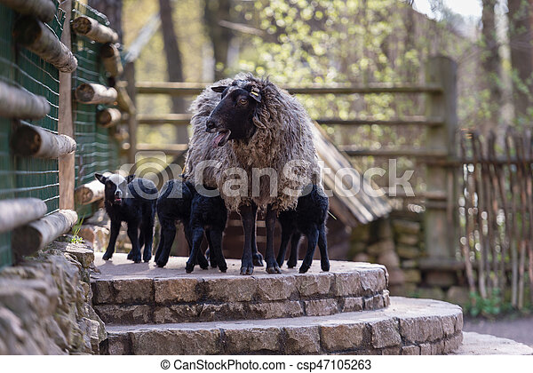 Sheep with black babies farmhouse in the yard. - csp47105263
