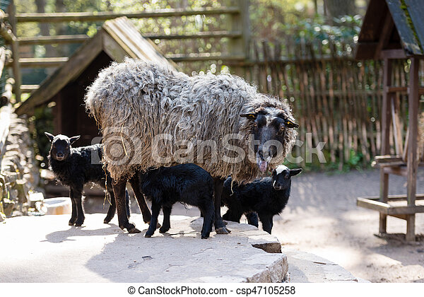 Sheep with black babies farmhouse in the yard. - csp47105258