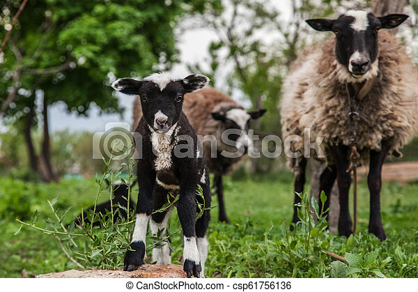 sheep with lambs on the hills - csp61756136