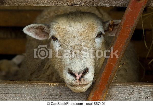 sheeps head - csp1867401