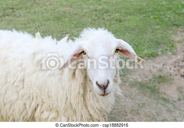 Sheeps in a meadow in the mountains - csp18882916
