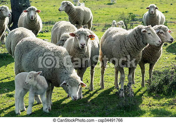 Sheeps in a Meadow in the Mountains - csp34491766