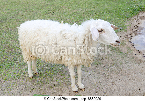 Sheeps in a meadow in the mountains - csp18882929