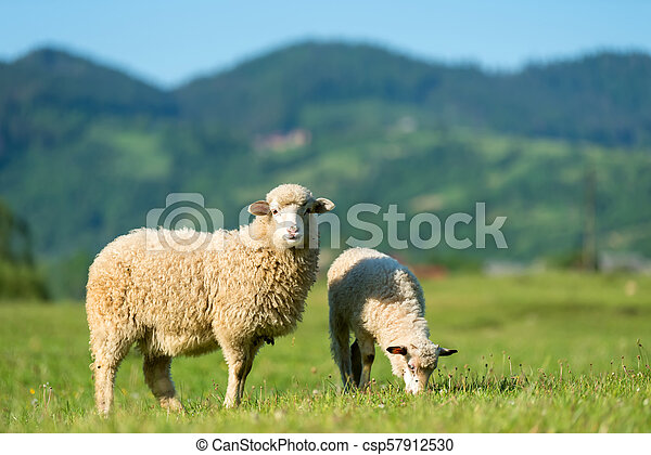 Sheeps in a meadow in the mountains - csp57912530