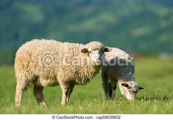 Sheeps in a meadow in the mountains - csp58039832