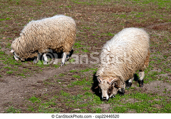 sheeps in a meadow - csp22446520