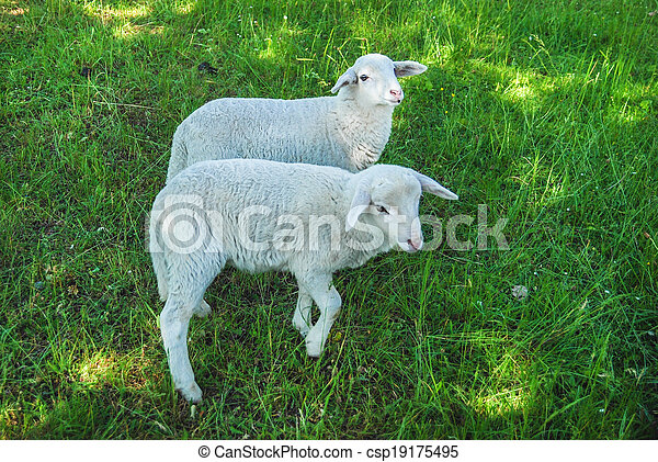 Sheeps in a meadow - csp19175495