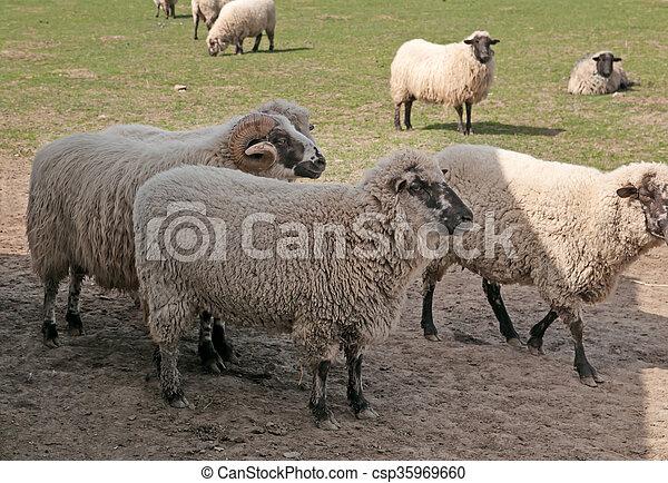 sheeps in meadow - csp35969660