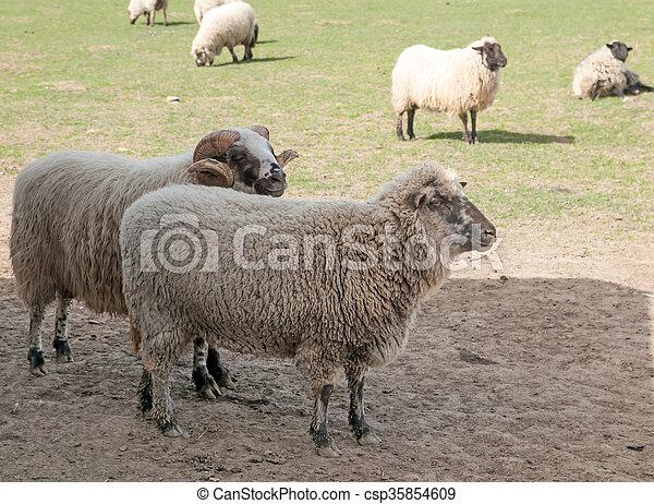 sheeps in meadow - csp35854609