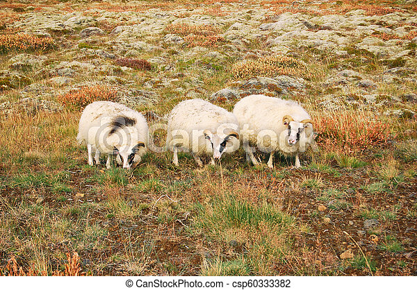 Sheeps on a field - csp60333382