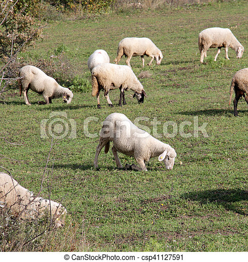 sheeps on a meadow. domestic animals theme - csp41127591