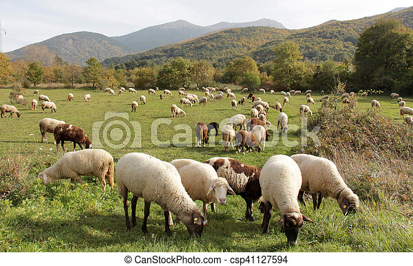sheeps on a meadow. domestic animals theme - csp41127594