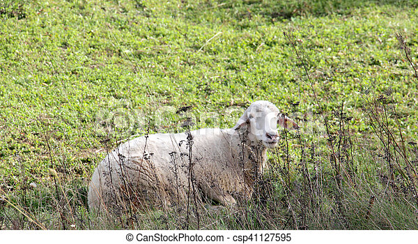 sheeps on a meadow. domestic animals theme - csp41127595