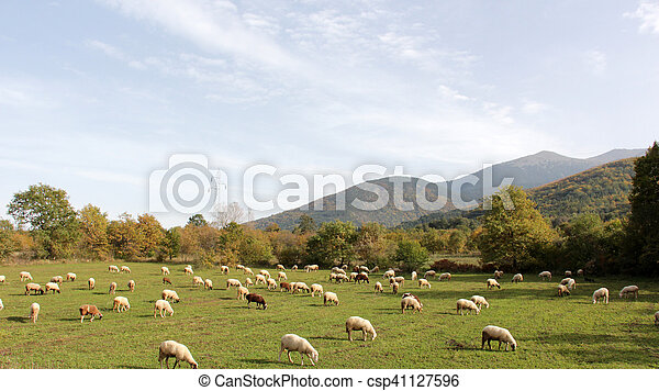 sheeps on a meadow. domestic animals theme - csp41127596