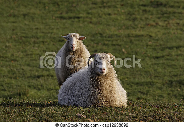 Sheeps on a meadow in Germany - csp12938892
