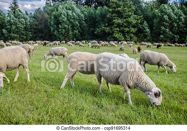 Sheeps on a meadow - csp91695314