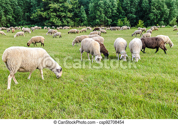 Sheeps on a meadow - csp92708454