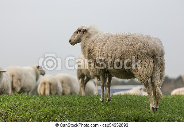 sheeps on a meadow - csp54352893