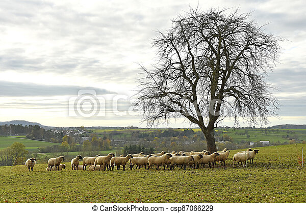 sheeps on a pasture in autumn - csp87066229
