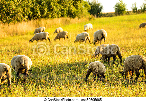 sheeps on a pasture in summer - csp59695665