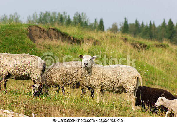 Sheeps on a pasture - csp54458219
