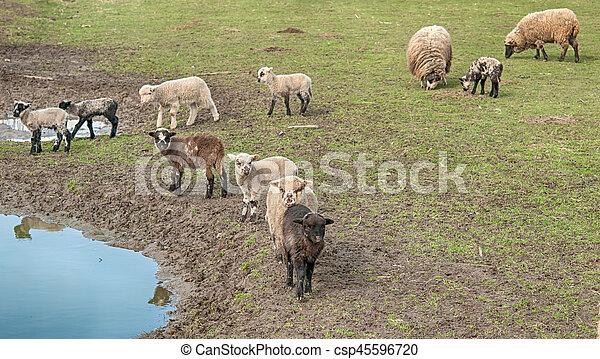 sheeps - csp45596720