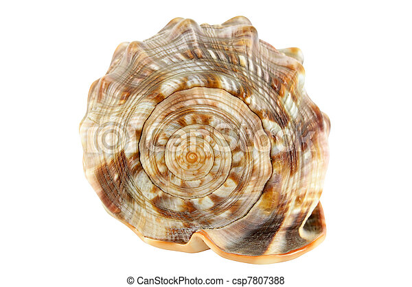 shell isolated on white - csp7807388
