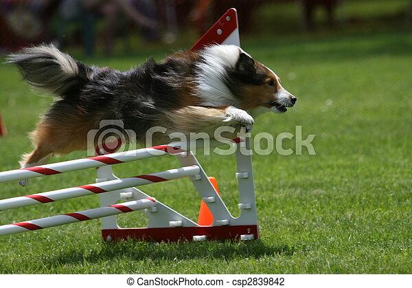 Sheltie doing dog agility - csp2839842
