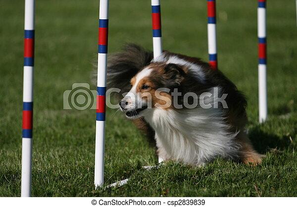 Sheltie doing dog agility - csp2839839