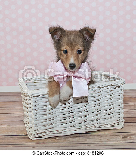 Sheltie Puppy - csp18181296