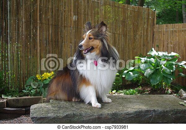 Sheltie Sitting on Stone Bench - csp7933981