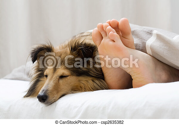 Sheltie sleeping with her owner - csp2635382