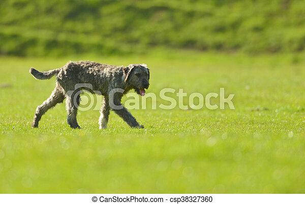 shepherd dog on meadow - csp38327360
