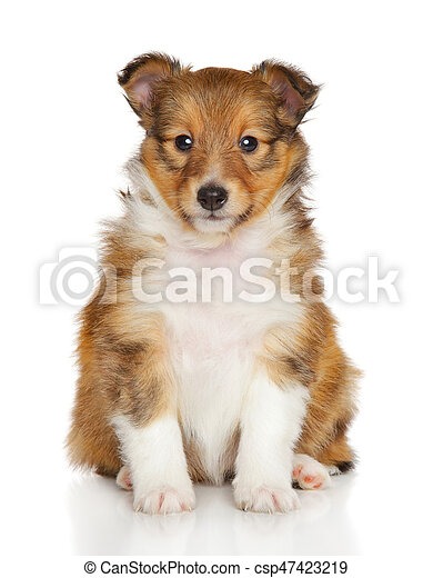 Shetland Cucciolo Cane Pastore Fondo Fronte Bianco Sedere