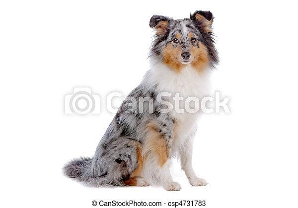 Shetland Sheepdog or sheltie - csp4731783