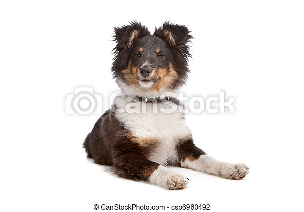 shetland sheepdog - csp6980492