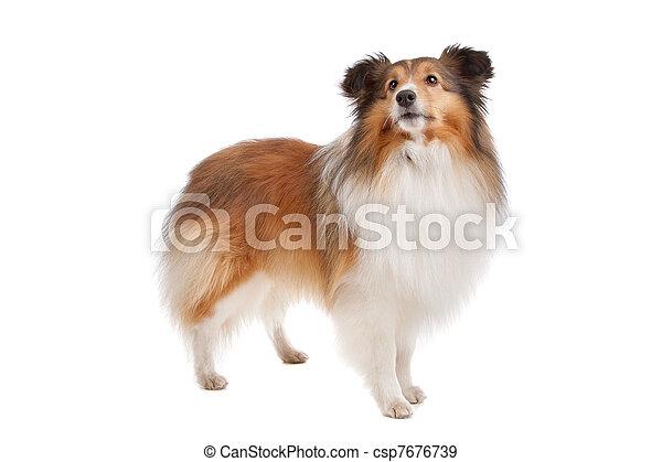 Shetland sheepdog - csp7676739