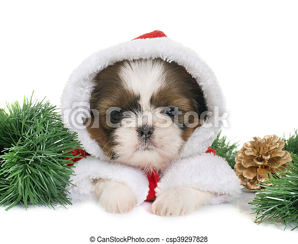 Shih Filhote Cachorro Tzu Natal