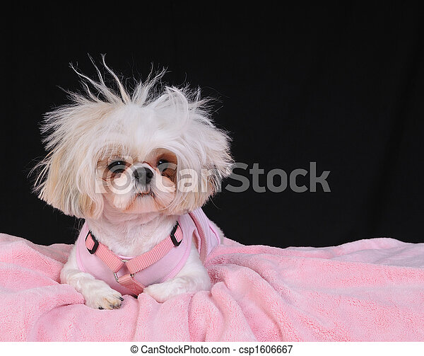 Shih Tzu Dog Bad Hair Day - csp1606667