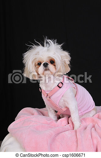 Shih Tzu Dog Bad Hair Day - csp1606671