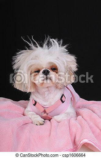 Shih Tzu Dog Bad Hair Day - csp1606664