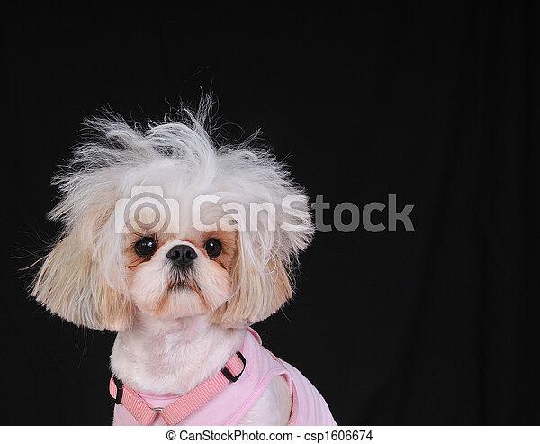 Shih Tzu Dog Bad Hair Day - csp1606674