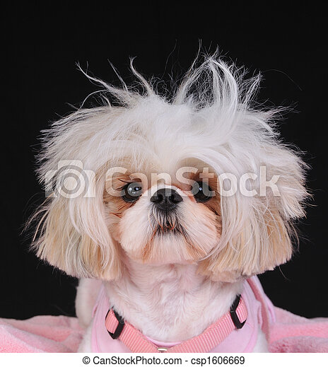Shih Tzu Dog Bad Hair Day - csp1606669