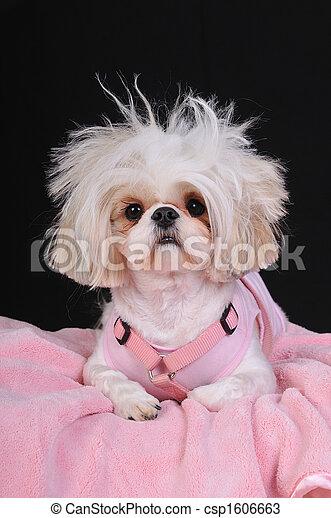 Shih Tzu Dog Bad Hair Day - csp1606663