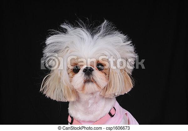 Shih Tzu Dog Bad Hair Day - csp1606673