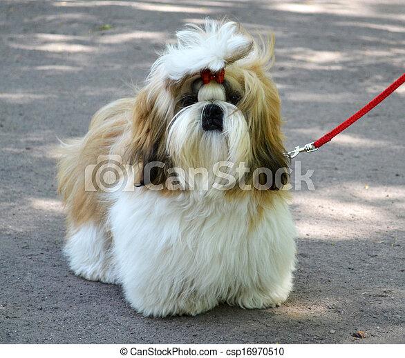 Shih Tzu dog - csp16970510
