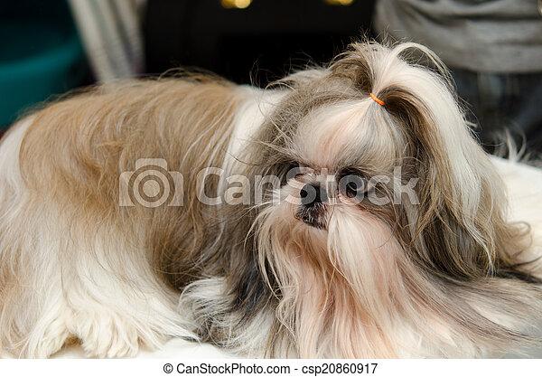 Shih Tzu Dog - csp20860917