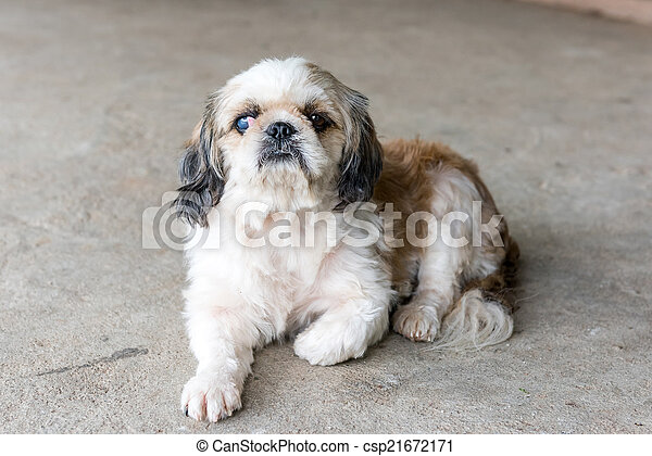 Shih tzu dog - csp21672171