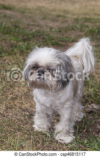 Shih Tzu dog - csp46815117